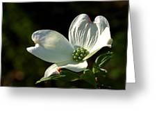 Dogwood Bloom At Sunrise Greeting Card
