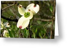 Dogwood Blossome Greeting Card