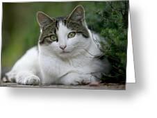 Domestic Cat Felis Catus Portrait Greeting Card