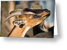Domestic Goat Greeting Card