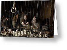 Domestic Rats At The George M. Sutton Greeting Card