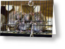 Domestic Rats At The Sutton Avian Greeting Card