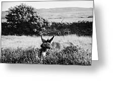 Donkey In The West Of Ireland Greeting Card