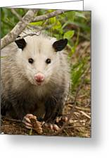 Don't Mess With Me Opossum Greeting Card