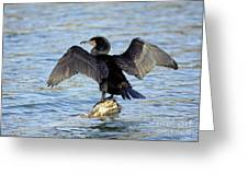 Double Crested Cormorant Wings Spread Greeting Card