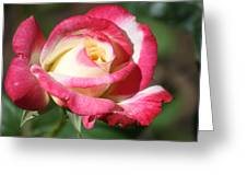 Double Delight Rose Greeting Card