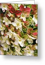 Double Hydrangeas  Greeting Card