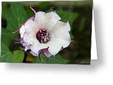 Double Purple Datura Greeting Card