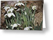 Double Snowdrops Squared Greeting Card