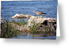 Dowitcher Greeting Card