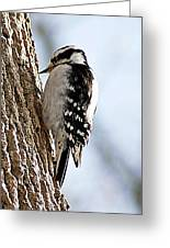 Downy Woodpecker 4 Greeting Card