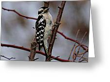 Downy Woodpecker 7 Greeting Card