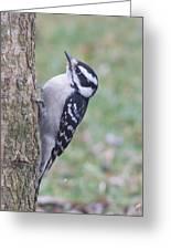 Downy Woodpecker On Dogwood Greeting Card