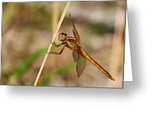 Dragonfly Looking At You Greeting Card