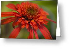 Dreamy Hot Papaya Coneflower Bloom Greeting Card