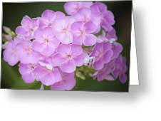 Dreamy Lavender Phlox Squared Greeting Card