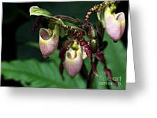 Drippy Lady Slipper Orchids Greeting Card