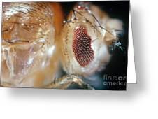Drosophila Mutant With Bar Eyes Greeting Card
