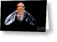 Drosophila With Dichaete Wings Greeting Card