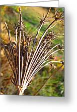 Dry Queen Anns Lace I Greeting Card