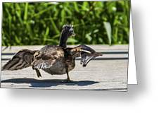 Duck And Run Greeting Card