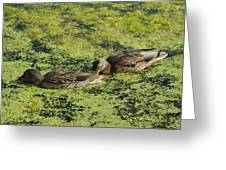 Duck Dinner Greeting Card