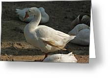 Duck Enjoying The Sun In The Winter In Delhi Zoo Greeting Card