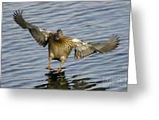 Duck Landing Greeting Card