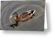Duck Swimming In Clear Water St Greeting Card