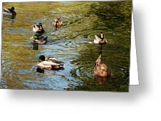 Ducks On The Water Greeting Card
