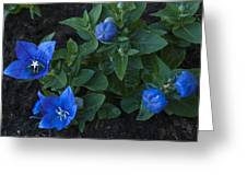 Dwarf Balloon Flower Platycodon Astra Blue 2 Greeting Card