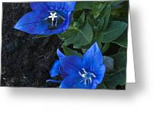 Dwarf Balloon Flower Platycodon Astra Blue  Greeting Card by Steve Purnell