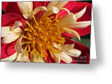 Dwarf Dahlia From The Collarette Dandy Mix Greeting Card
