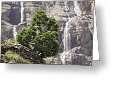 Dwarf Mountain Pine (pinus Uncinata) Greeting Card