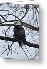 Eagle In The Wild Greeting Card
