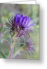 Early Knapweed Greeting Card