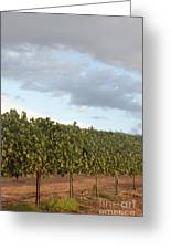 Early Morning Vineyard Greeting Card