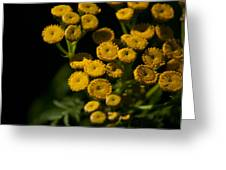 Early Tansy Greeting Card