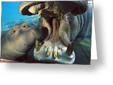 East African River Hippopotamus Greeting Card