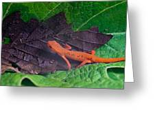 Easterm Newt Nnotophthalmus Viridescens 12 Greeting Card