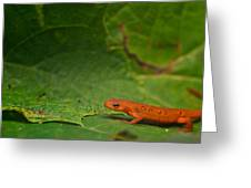 Easterm Newt Nnotophthalmus Viridescens 13 Greeting Card