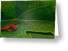 Easterm Newt Nnotophthalmus Viridescens 16 Greeting Card
