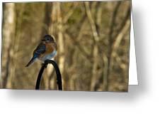 Eastern Bluebird 20 Greeting Card