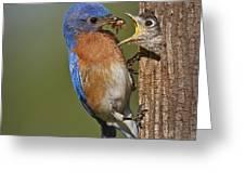 Eastern Bluebird Feeding Chick Greeting Card
