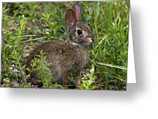 Eastern Cottontail Rabbit Dmam005 Greeting Card