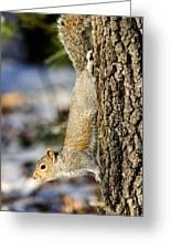 Eastern Gray Squirrel Sciurus Greeting Card