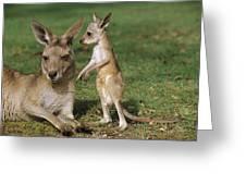 Eastern Grey Kangaroo And Joey Greeting Card