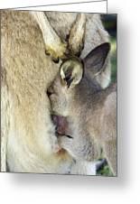 Eastern Grey Kangaroo Joey Greeting Card by Tony Camacho