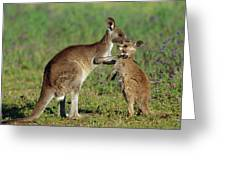 Eastern Grey Kangaroo Macropus Greeting Card