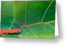 Eastern Newt Notophthalmus Viridescens 28 Greeting Card